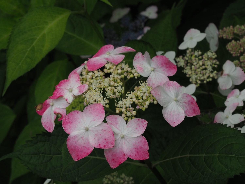 ヤマアジサイの花