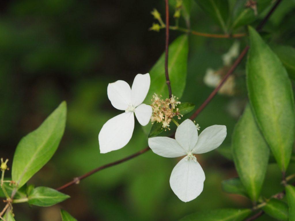 コガクウツギの花