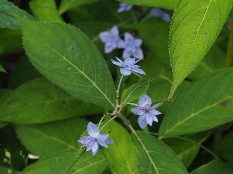 シチダンカの花