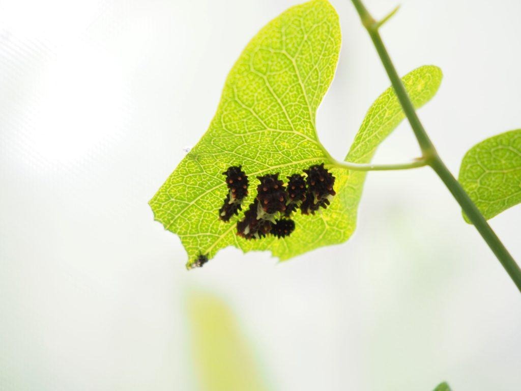 ジャコウアゲハの幼虫