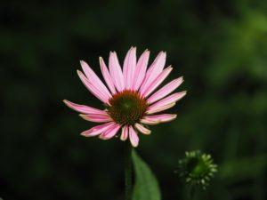 エキナケアの花
