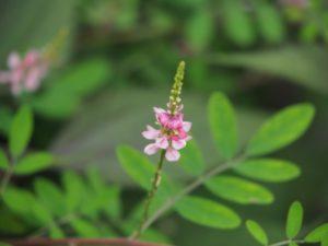 コマツナギの花