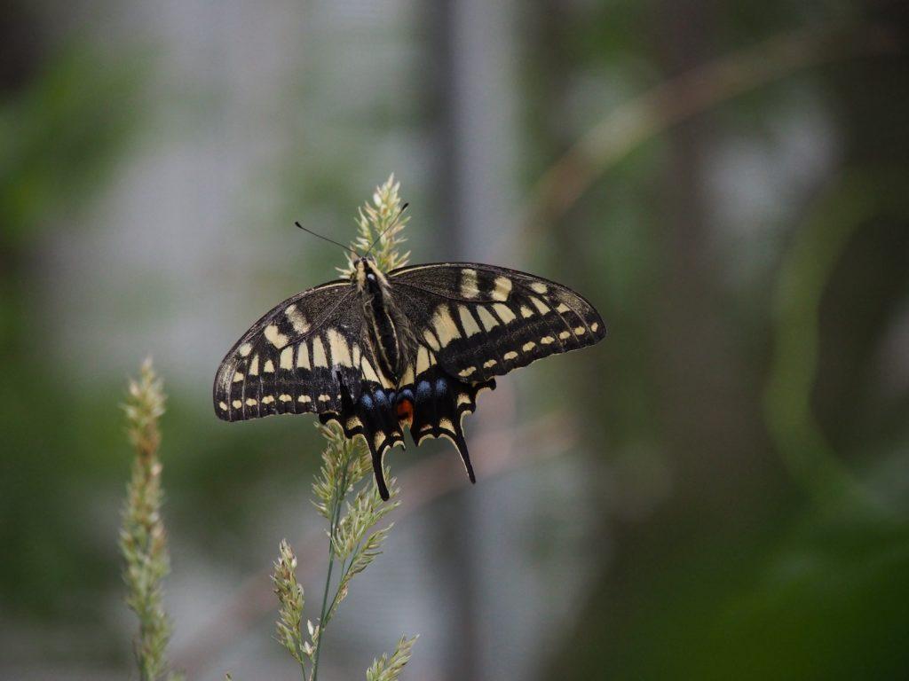 キアゲハの成虫