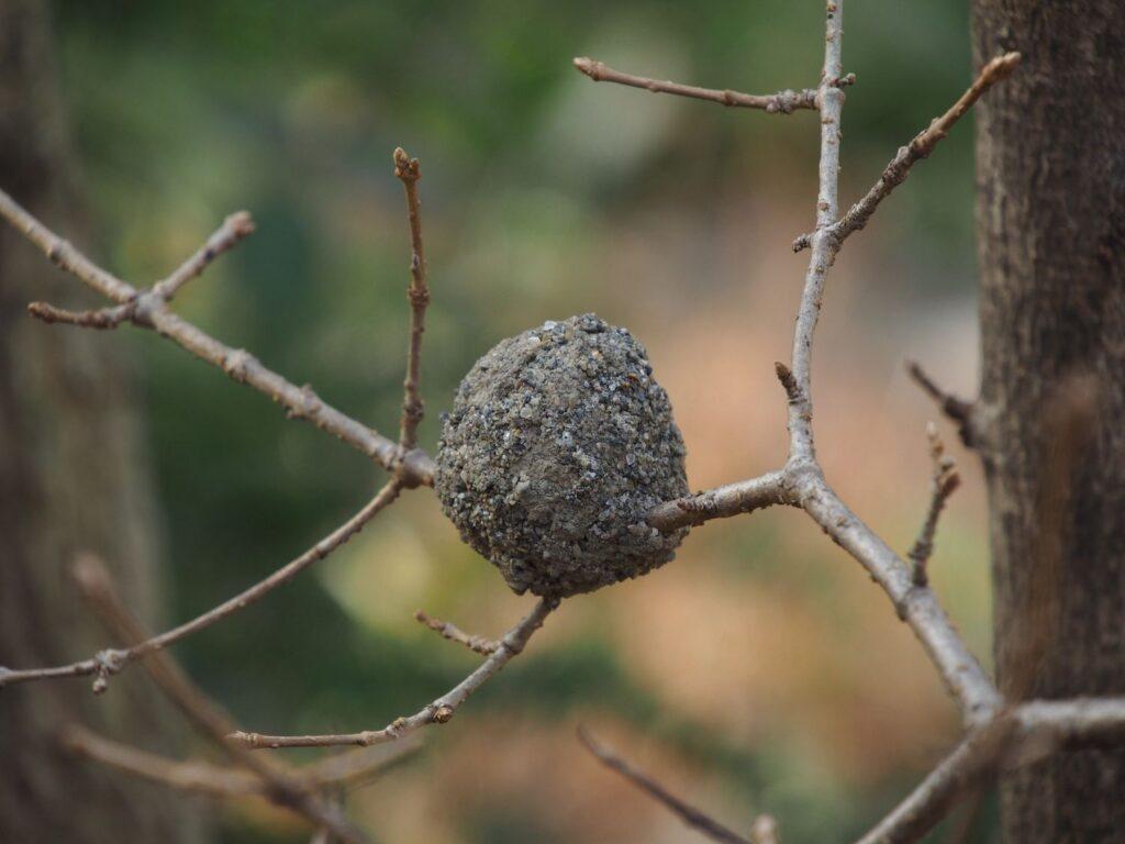 ドロバチの巣(羽化前)